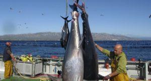 Comenzó la pesca de Atún rojo para la flota de cerco