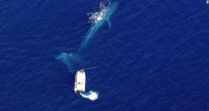 Rescatistas intentan salvar a una Ballena azul enredada en redes de pesca