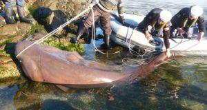 CHILE – Armada liberó Tiburón de 5 metros enredado en anzuelos de pesca