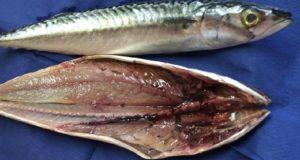 Autorizan la ejecución y dictan disposiciones de la Pesca Exploratoria del recurso Caballa