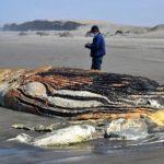 Imarpe registra 43 especies marinas varadas en el sur de Lambayeque