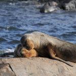 PIURA – Mortandad de lobos marinos no puede ser esclarecida