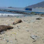 CHIMBOTE – Hallan 10 lobos marinos y un Delfín muertos